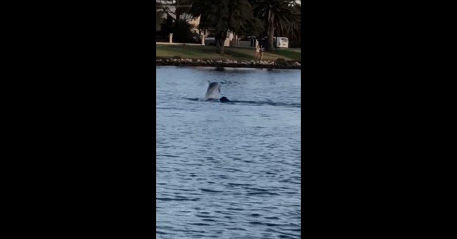 «Мы сами выбираем себе друзей»: в Австралии собака плавала вместе с дельфином