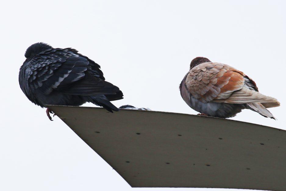 golubi ptitsy kryshi