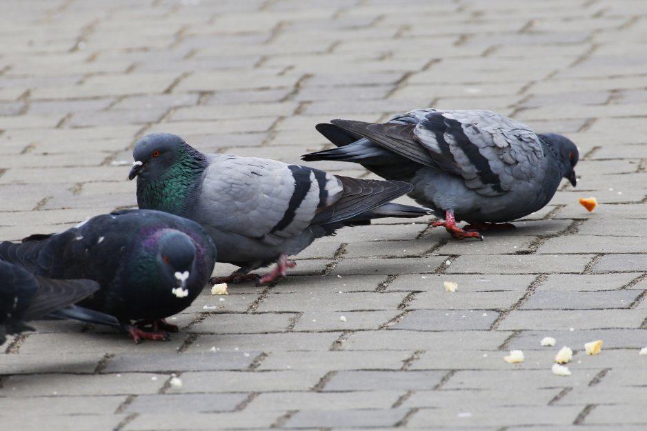 golubi ptitsy