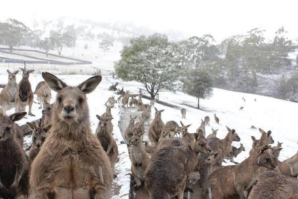 Кенгуру в заметах: в Австралії пішов сніг
