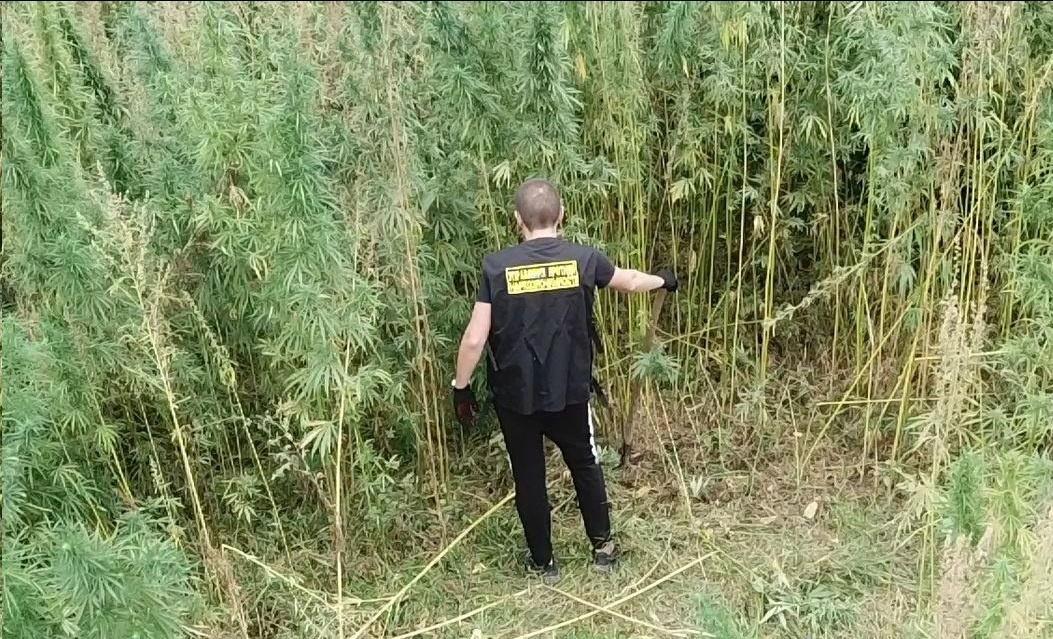 У Дніпропетровській області знайшли конопляне поле