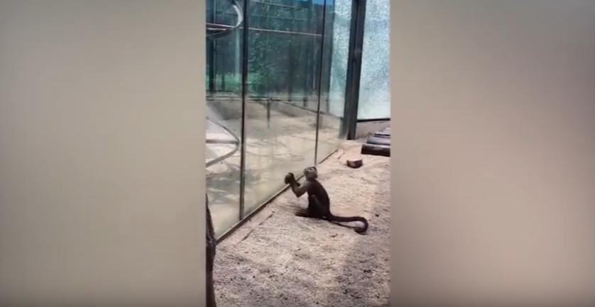 План втечі: у китайському зоопарку мавпа розбила камінням скляну огорожу