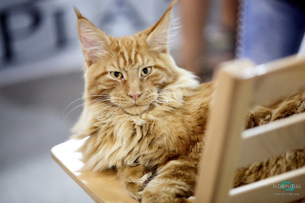 «Мяу по-днепровски»: как проходит Международная выставка кошек