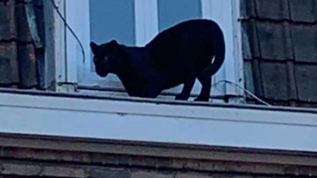 Во Франции украли пантеру, которая гуляла по крышам города