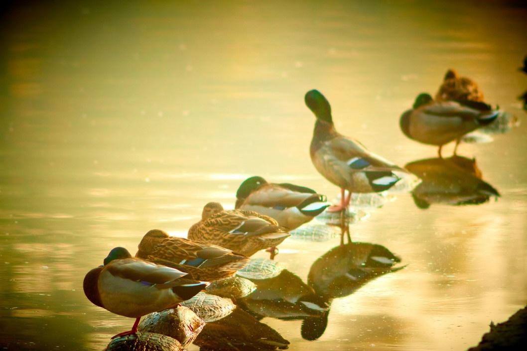 Уже не утята: в Днепре можно посмотреть на красивых уток