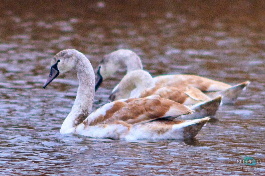 На Курячому озері оселилася незвична лебедина родина