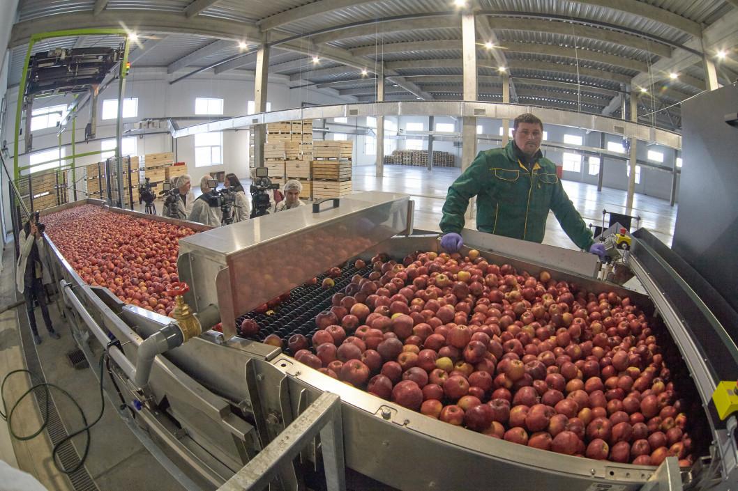 Местная Голландия: в Подгородном работает яблочный завод будущего (ФОТО)