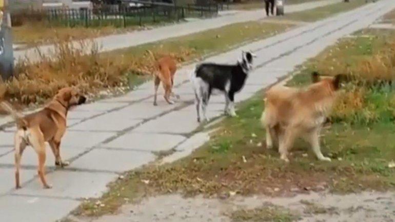 Стая собак и козленок на улицах Павлограда/ Скриншот Maria Prohorova