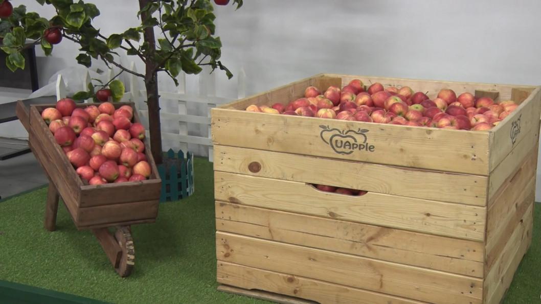 ВІДЕО: У Дніпрі яблука вирощують за голандською технологією