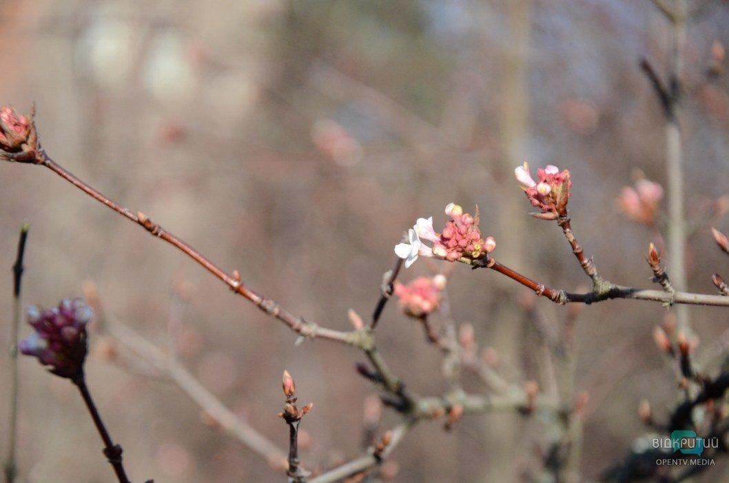Цветение в декабре калины душистой в Днепре.