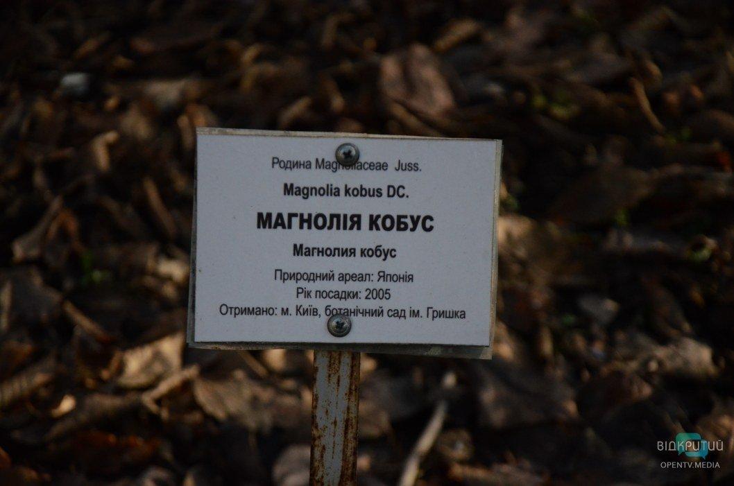 Магнолия в декабре в Днепре. Ботанический сад ДНУ.
