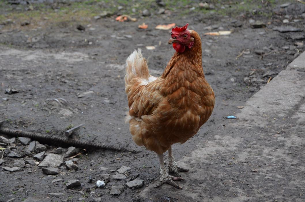 На Днепропетровщине мужчина получил 5 лет за жестокое убийство курицы