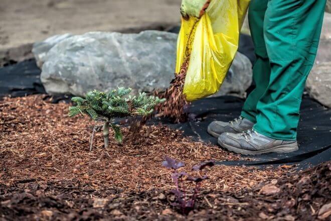 Подсыпание растений еловыми иголками