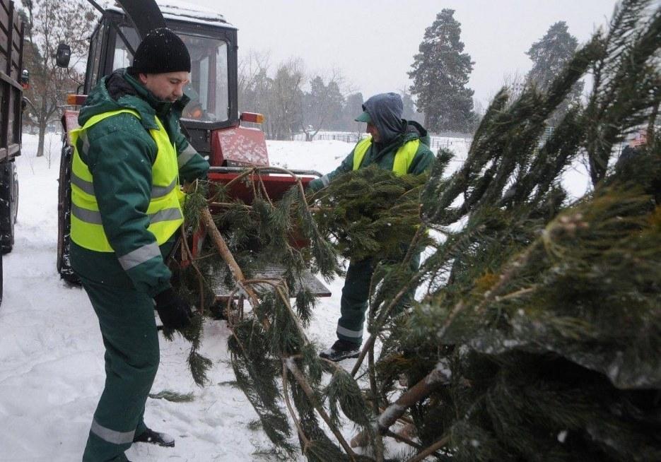 Куда сдать елку после завершения новогодних праздников (АДРЕСА)