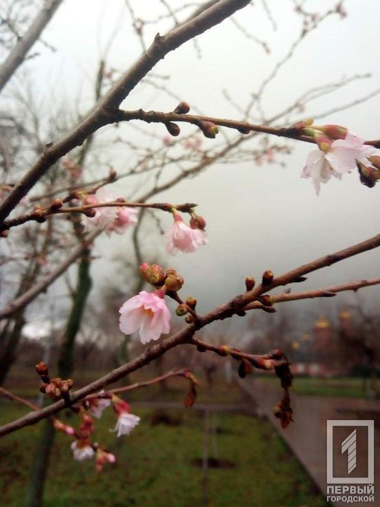 Цветы вишни в канун Нового года