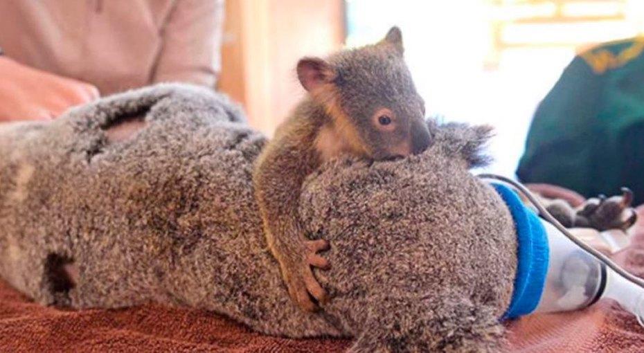 Самая сильная любовь: в Австралии врачи спасли двух коал, которых сбила машина