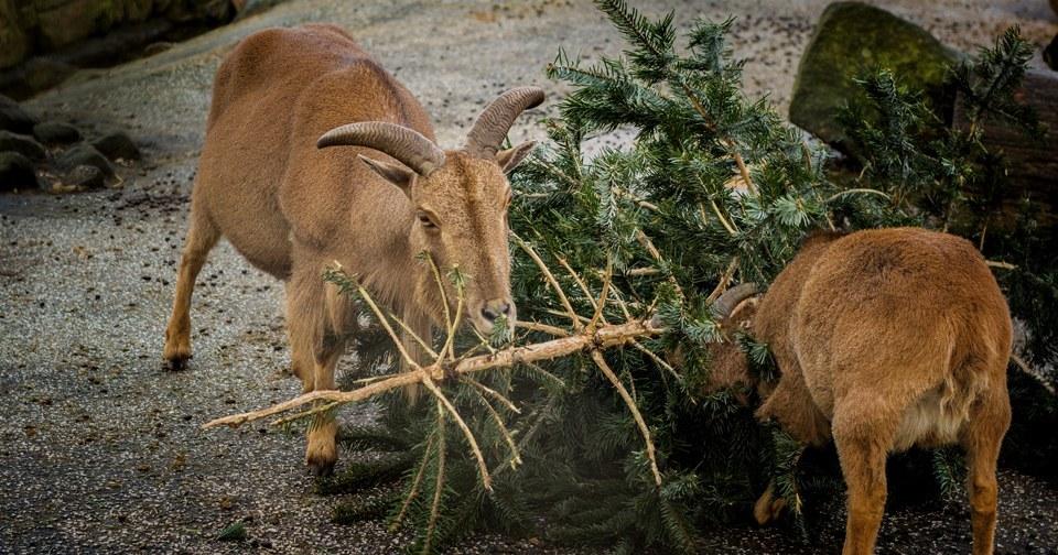Животные в зоопарке лакомятся новогодней красавицей