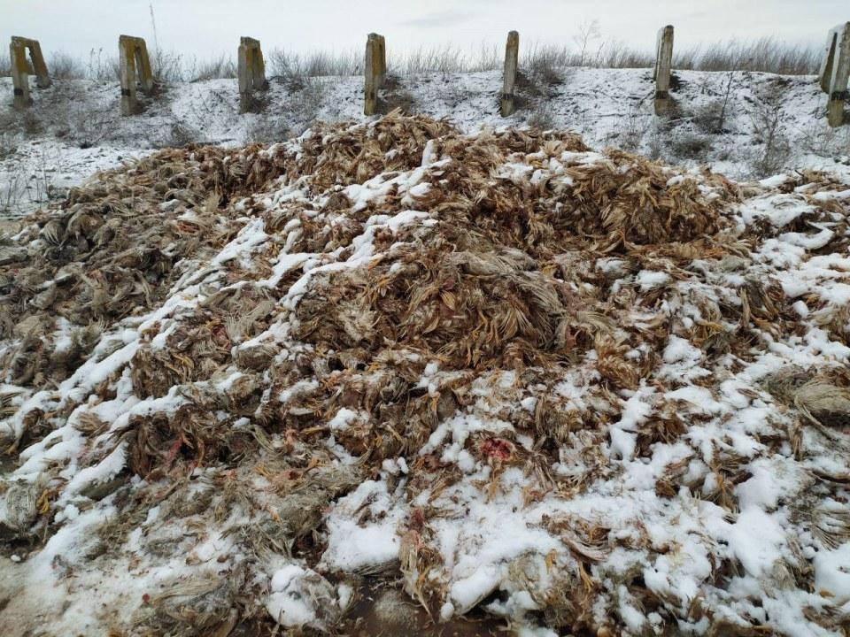 Под Кривым Рогом выбросили сотни мертвых кур (ФОТО)