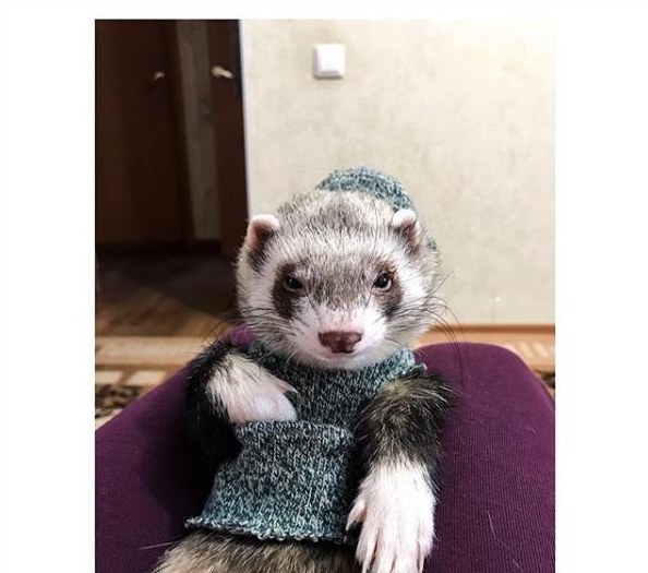 Пушистый модник: хорёк из Днепра покорил Инстаграм (ФОТО)
