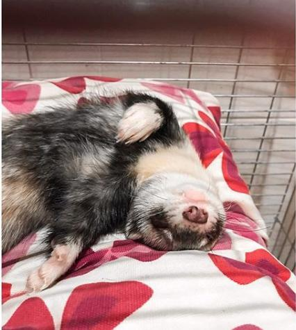 Хорек спит