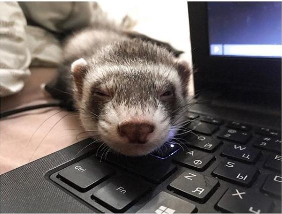 Хорёк и компьютер