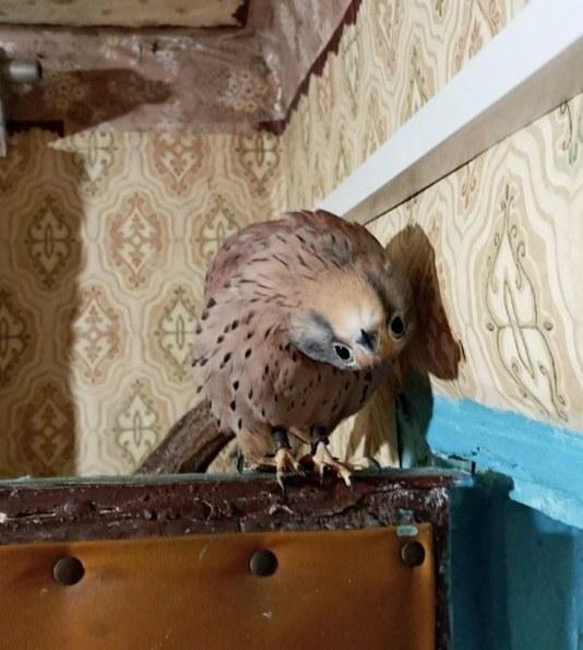 Сокол свободно летает по квартире