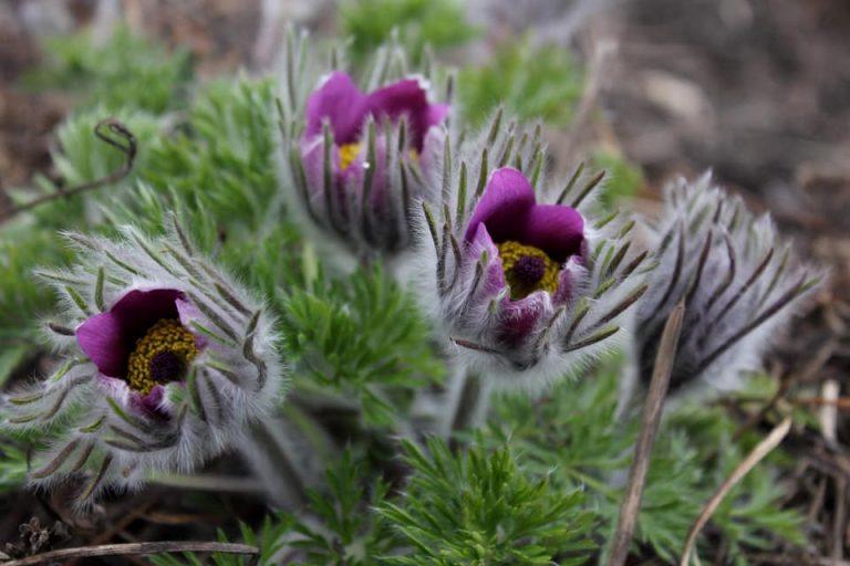 Весна набирает обороты: в ботсаду ДНУ зацвели восхитительные растения (ФОТО)