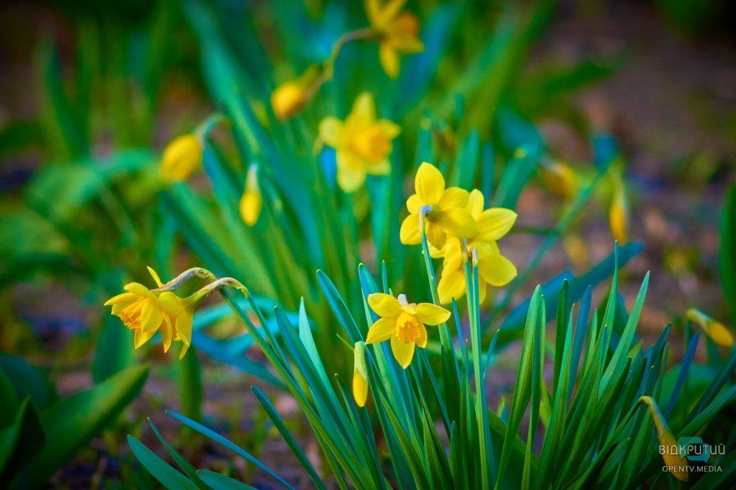Какая же весна без нарциссов?