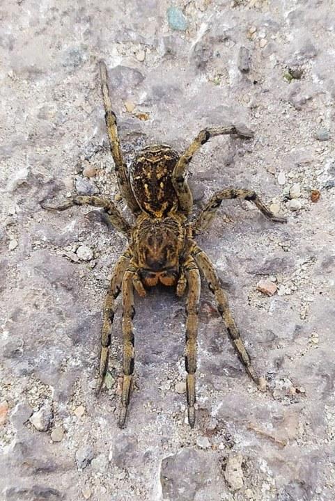 Обнаруженный на окраинах Каменского тарантул