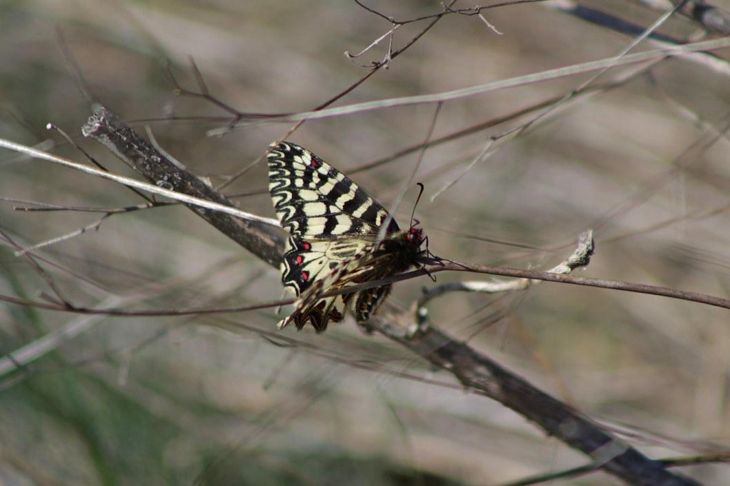 Поликсена бабочка Украина