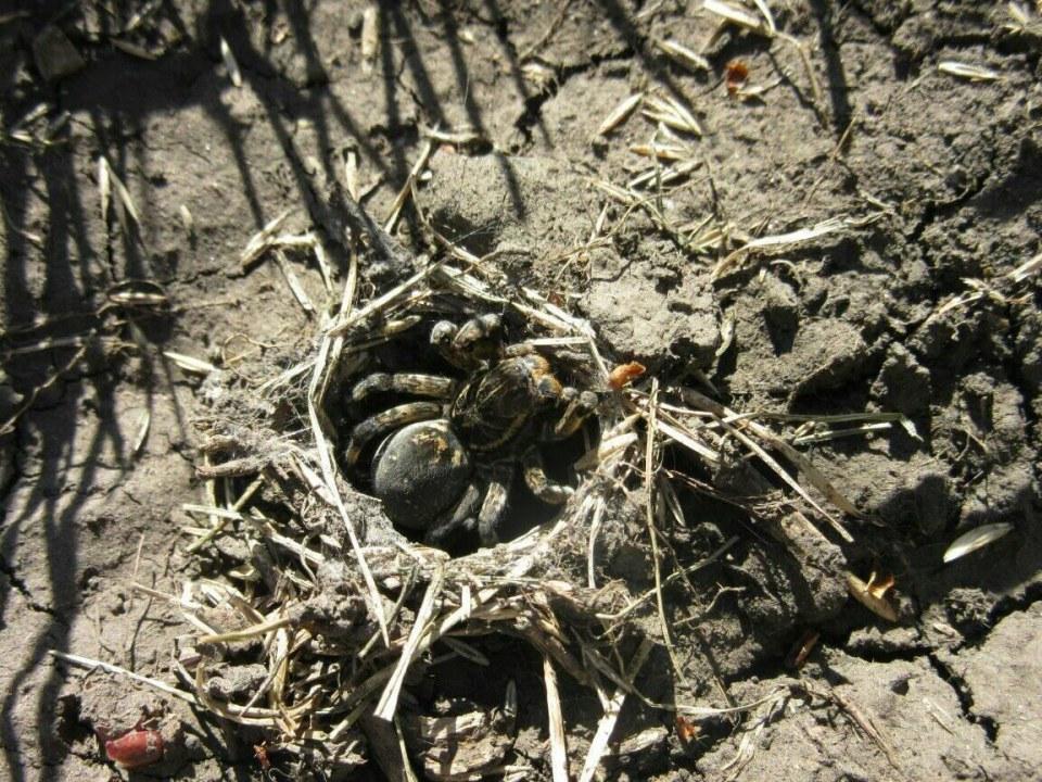 Гнездо тарантула в Синельниково