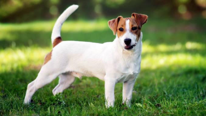 Собака породы джек-рассел-терьер