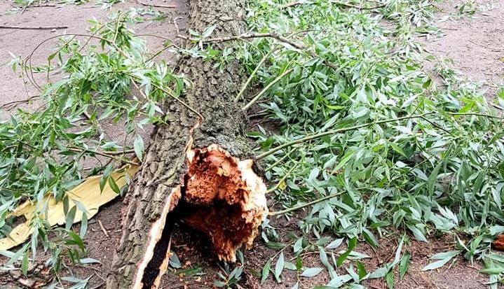Падучая ива: в Днепре рухнуло большое дерево (ФОТО)