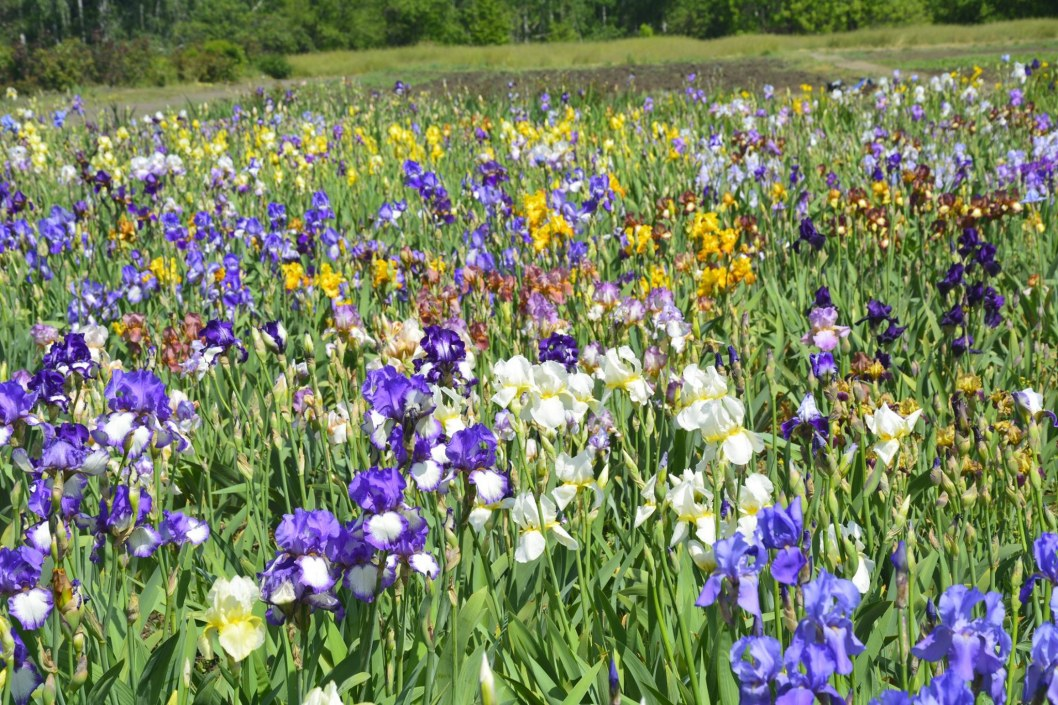 Весенняя сказка: на Днепропетровщине зацвели поля ирисов (ФОТО)