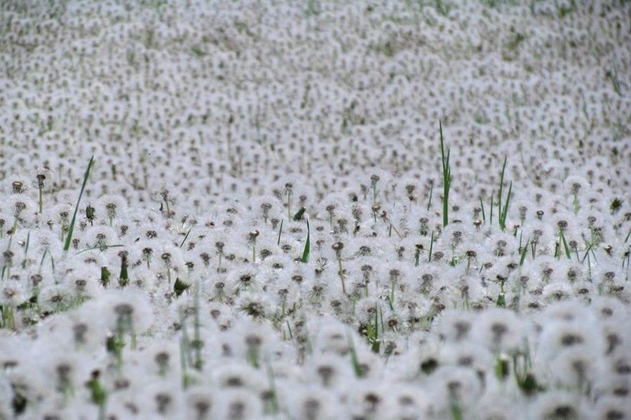 В сети показали, как выглядят огромные поля одуванчиков под Днепром