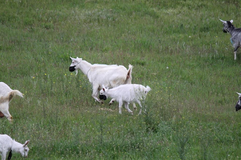 Карантин для всех един: в Днепре заметили коз в защитных масках (ФОТО)