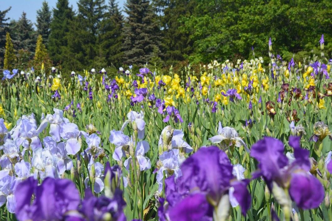 Ирисы ботанической сад Кривой Рог