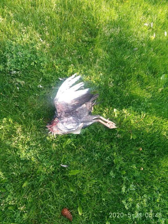 """В Днепре в яхт-клубе """"Сич"""" дикие звери массово убивают птиц"""