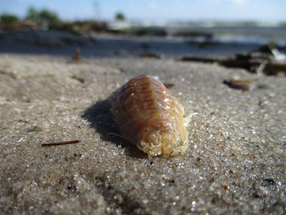 В Никополе на детском пляже поселился морской таракан (ФОТО)