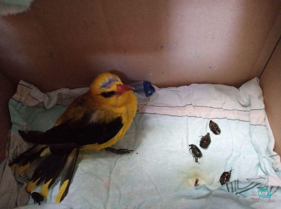 В Днепре волонтеры спасают иволгу, которой грозит ампутация крыла