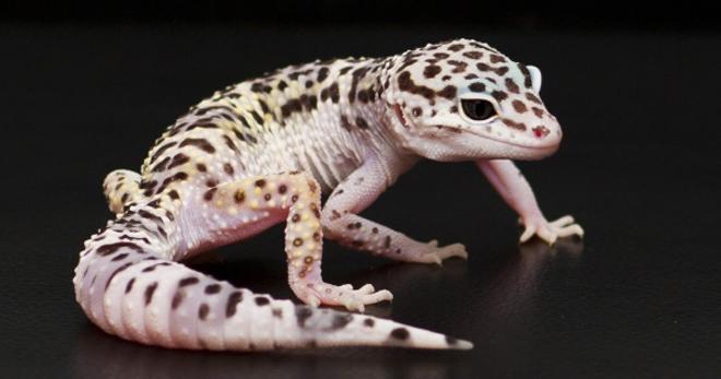В Днепре прооперировали беременную ящерицу (ФОТО)