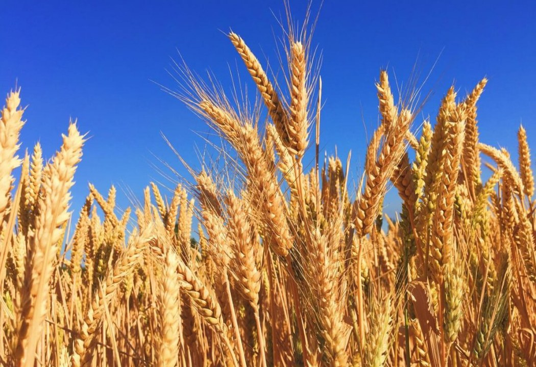 Как весенняя засуха сказалась на урожае ячменя в Днепропетровской области (ВИДЕО)