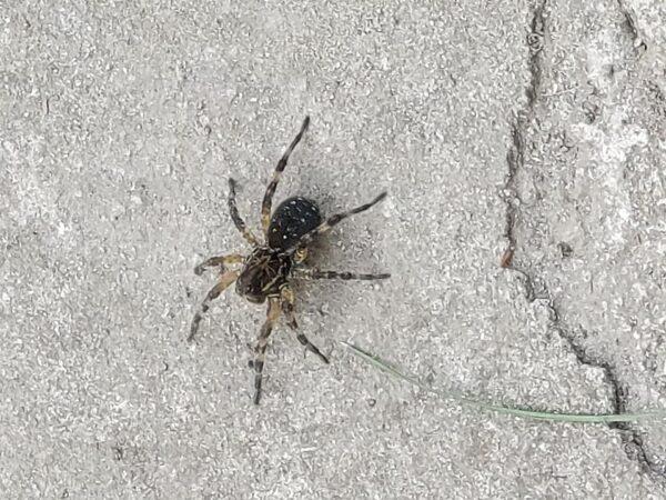 Размером с 5-копеечную монету: в Днепре заметили южнорусского тарантула