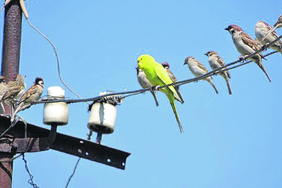 В Днепре заметили попугая, который прибился к воробьиной стае
