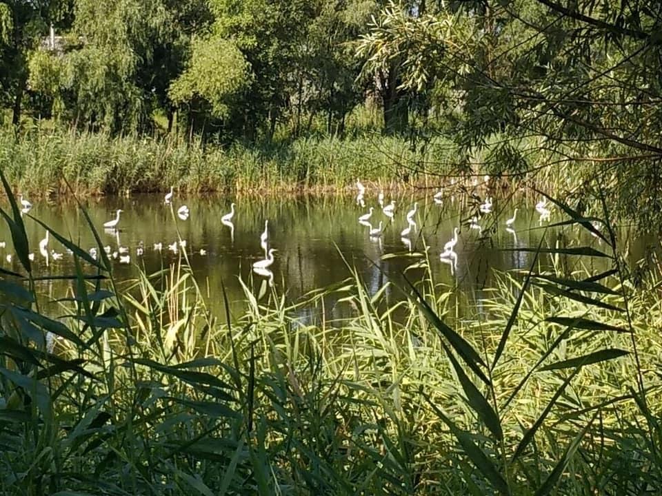 Красота природы: в Днепре на озере Курячем поселились десятки цапель