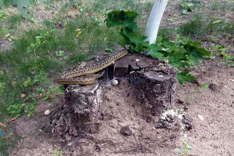 В Днепре обнаружили полутораметровую змею
