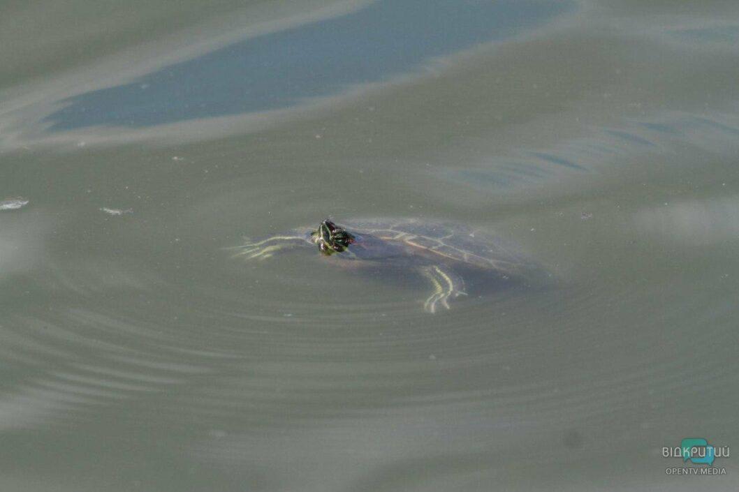 Красноухая черепаха в парке Глобы