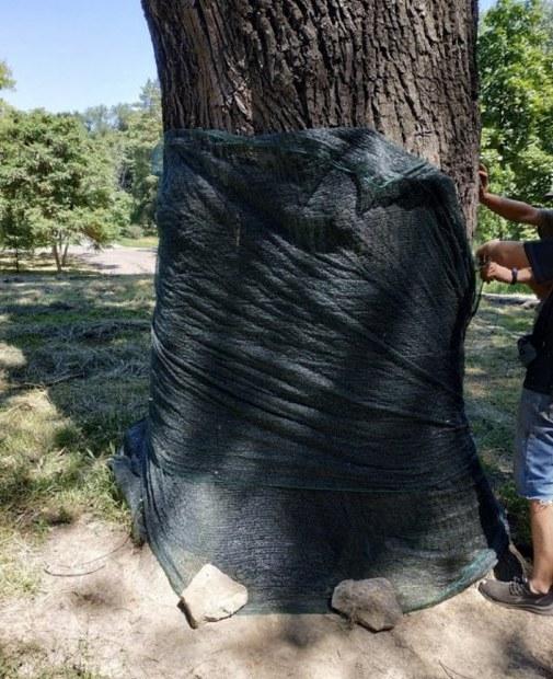 В Днепре спасают легендарный дуб в парке Глобы