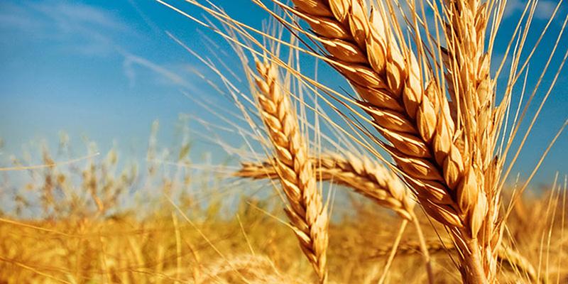 wheat milestone social