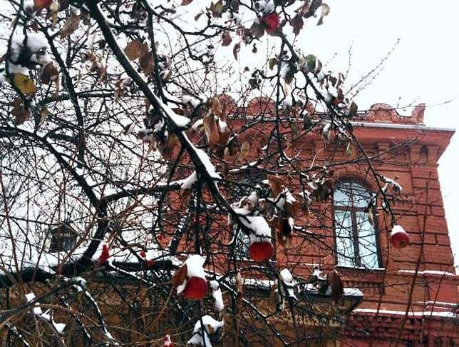 Яблоки под снегом: в Днепре созревшие плоды провисели на ветках до середины зимы